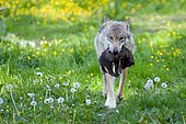 Gray wolf (Canis lupus) with young in mouth, captive, Hesse, Germany, Europe