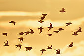 Flight of Dunlin (Calidris alpina) in backlight at sunrise, Sérignan Beach, Hérault, France