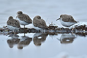 Dunlin (Calidris alpina) at rest, Sérignan Beach, Hérault, France