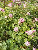Rosa 'Mini Eden Rose' Breeder : Meilland (FRA) 2009