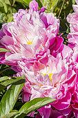Paeonia lactiflora 'Mr Jules Elie' Crousse (FRA) 1888