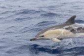 Common dolphin (Delphinus delphis), Pelagos Sanctuary for Mediterranean Marine Mammals, France, Mediterranean Sea
