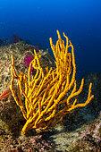 Axinelle chanvre (Axinella cannabina) sur le fond, Vervece rock, Zone marine protégée Punta Campanella, Massa Lubrense, Penisola Sorrentina, Costa Amalfitana, Italie, mer Tyrrhénienne, Méditerranée