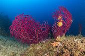 Gorgone rouge (Paramuricea clavata), Vervece rock, Zone marine protégée Punta Campanella, Massa Lubrense, Penisola Sorrentina, Costa Amalfitana, Italie, mer Tyrrhénienne, Méditerranée
