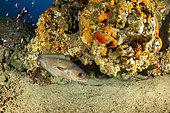 Mostelle (Phycis phycis) au dessus du fond, Zone marine protégée Punta Campanella, Massa Lubrense, Penisola Sorrentina, Costa Amalfitana, Italie, mer Tyrrhénienne, Méditerranée
