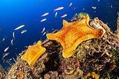 Etoile biscuit (Peltaster placenta) sur le fond, Zone marine protégée Punta Campanella, Massa Lubrense, Penisola Sorrentina, Costa Amalfitana, Italie, mer Tyrrhénienne, Méditerranée