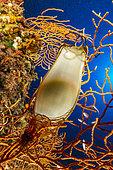 Œuf de requin-chat (Scyliorhinus sp), sur gorgone jaune (Eunicella cavolini), zone marine protégée Punta Campanella, Massa Lubrense, Penisola Sorrentina, Costa Amalfitana, Italie, mer Tyrrhénienne, Méditerranée