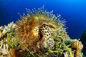 Triton de Naples (Monoplex parthenopeus), Vervece rock, zone marine protégée Punta Campanella, Massa Lubrense, Penisola Sorrentina, Costa Amalfitana, Italie, mer Tyrrhénienne, Mediterranée