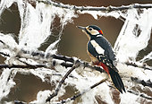 Great spotted woodpecker (Dendrocopos major) perched amongst sheep wool, England