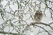 Little owl (Athena noctua) perched in a tree amongst snow, England