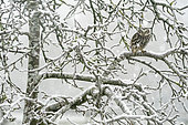 Little owl (Athena noctua) perched in a tree during a snow storm, England