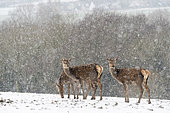 Red deer (Cervus elaphus) hind standing in a snow storm, England