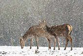 Red deer (Cervus elaphus) hind standing in a snow srorm