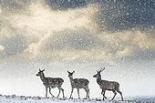 Red deer (Cervus elaphus) group walking in the snow, England