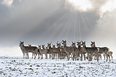 Red deer (Cervus elaphus) group standing in the snow