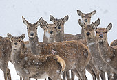 Red deer (Cervus elaphus) standing in a snow covered meadow, England