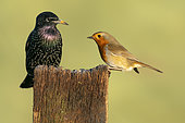 Robin (Erithacus rubecula) starling (Sturnus vulgaris) perched on a post, england