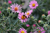 Honey bee (Apis mellifera) foraging on an Aster flower