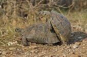 Pairing of two Spur-thighed Tortoises (Testudo graeca), Xanthos, Lykien, Turkey, Asia