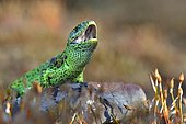 Male sand lizard (Lacerta agilis) in courting colours, North Rhine-Westphalia, Germany, Europe