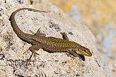 Italian wall lizard (Podarcis sicula cettii), Sardinia, Italy, Europe