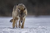 Gray wolf (Canis lupus) free and wild, young wolf in the snow, Biosphere Reserve Mittelelbe, Saxony-Anhalt