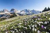 Blossoming crocus meadow near Gurnigelpass, Bernese Alps with Nünenenflue, Gantrisch, Berg Ochsen, Bernese Oberland, Canton Bern, Switzerland, Europe