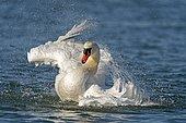 Mute swan (cygnus olor), bathing during plumage care, Germany, Europe