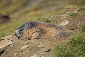 Alpine Marmot (Marmota marmota), adult, at the burrow, sleeping, resting, portrait, Großglockner Massif, Hohe Tauern National Park, Alps, Austria, Europe