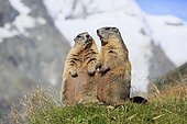 Alpine Marmot (Marmota marmota), adult, pair, standing upright, social behaviour, Großglockner Massif, Hohe Tauern National Park, Alps, Austria, Europe