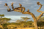 Cape griffon (Gyps coprotheres), several vultures sitting on tree in morning light, Tanzania, Africa