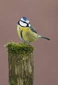 Blue tit (Cyanistes caeruleus) perched on a post, England