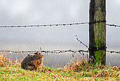 Brown hare (Lepus europaeus) Hare laying in the grass while rainning , Engalnd , Winter