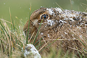 Brown hare (Lepus europaeus) head covered with snow