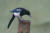 Magpie (Pica pica) perched on a post, England