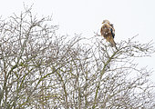 Red kite (Milvus milvus) perched in a tree amongst falling snow