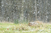 Brown hare (Lepus europaeus) layingin the grass amongst falling snow, England