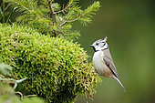 Crested tit (Lophophanes cristatus) on moss, Ardennes, Belgium