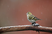 Siskin (Spinus spinus) on a branch under snow, Ardennes, Belgium
