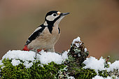 Great Spotted Woodpecker (Dendrocopos major) on a snowy branch, Ardennes, Belgium