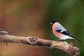 Bullfinch (Pyrrhula pyrrhula) on a branch, Ardennes, Belgium