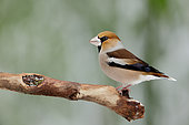 Hawfinch (Coccothraustes coccothraustes) on a branch, Ardennes, Belgium