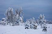 Fagne landscape under the snow, Ardennes, Belgium