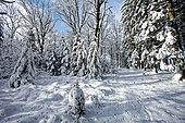 Forêt enneigée, Ardennes, Belgique