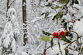 Holly (Ilex aquifolium) fruit under snow, Ardennes, Belgium