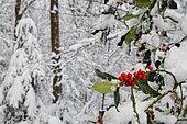 Houx (Ilex aquifolium) fruits sous la neige, Ardennes, Belgique