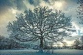 Chêne pédonculé (Quercus robur) sous la neige, Ardennes, Belgique
