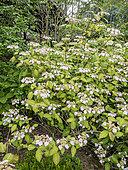 Hydrangea serrata 'Kiyosumi'