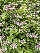 Hydrangea macrophylla 'Sea Foam'