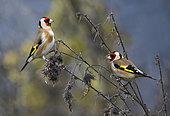 Goldfinches (Carduelis carduelis) eating thistles seeds, Parc naturel régional des Vosges du Nord, France